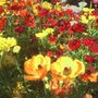 Ranunculus_bedding_of_flowers_2