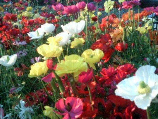 Ranunculus flowers in the front garden. (Ranunculus asiaticus)