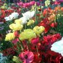 Ranunculus_bedding_of_flowers