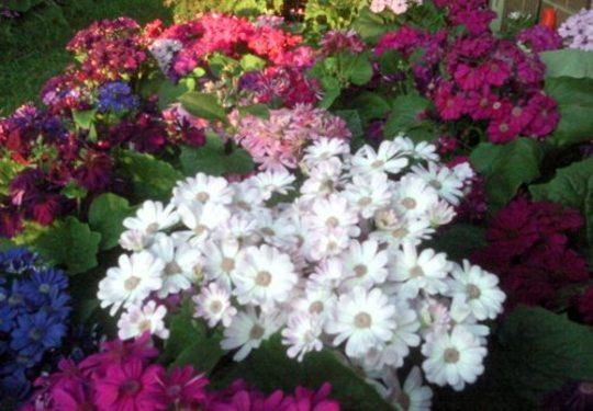 White Cineraria flowers (Senecio cineraria (Senecio))