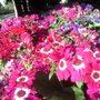 Wildly_pink_cinerarias