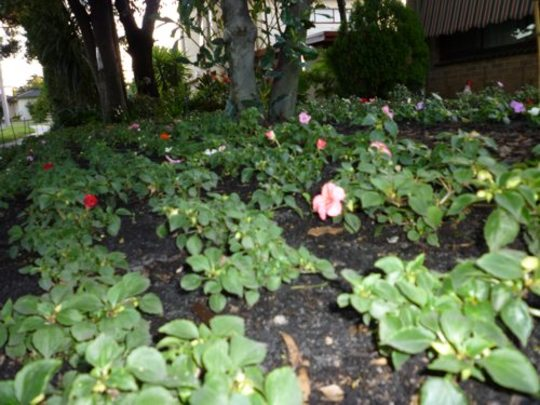 Impatiens in the front garden (Impatiens walleriana (Busy Lizzie))