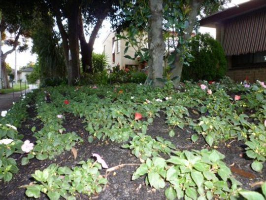 The impatiens garden bed (Impatiens walleriana (Busy Lizzie))