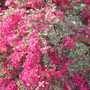 Bougainvillea spectabilis 'Hawaii' or 'Raspberry Ice' - Bougainvillea (Bougainvillea spectabilis 'Hawaii' or 'Raspberry Ice' - Bougainvillea)