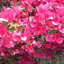 Bougainvillea spectabilis 'Hawaii' or 'Ice Cream' - Bougainvillea (Bougainvillea spectabilis 'Hawaii' or 'Ice Cream' - Bougainvillea)