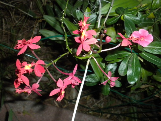 Epidendrum 'Red' - Butterfly Orchid (Epidendrum 'Red' - Butterfly Orchid)