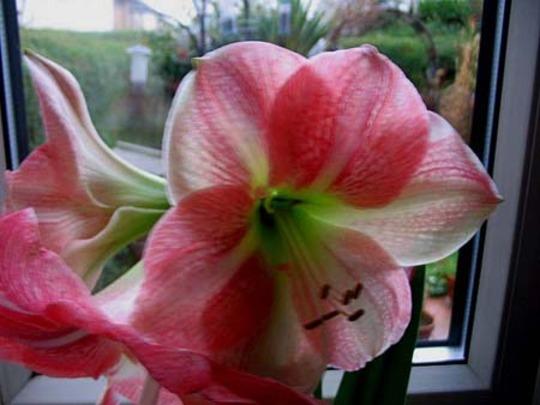 For Jacque (Hippeastrum papilio (Butterfly amerillis))