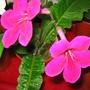 Streptocarpus - Ruby  (Streptocarpus)