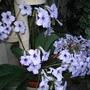 Streptocarpus Crystal Beauty (Streptocarpus)