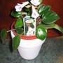 Chirita  Tamiana - (miniature) Streptocarpus (Chirita - streptocarpus)