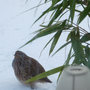 Partridge admiring the bamboo