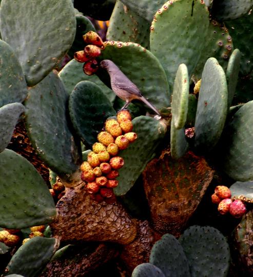 Indian fig - Opuntia ficus-indica  (Cactaceae)