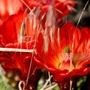 Claret_cup_cactus