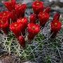 Claret Cup - Echinocereus triglochidiatus (Cactaceae)