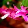 Christmas Cactus: Schlumbergera bridgesii (Cactaceae)