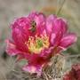 Beavertail Cactus - Opuntia basilaris (Cactaceae)
