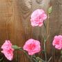Carnation_pinks_02