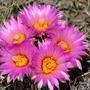 Mountain Cactus - Pediocactus simpsonii (Cactaceae)