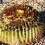 Barrel Cactus – Echinocactus grusonii (Cactaceae)