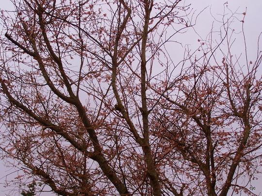 Cherry Blooms ?