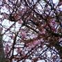 Cherry Blooms?