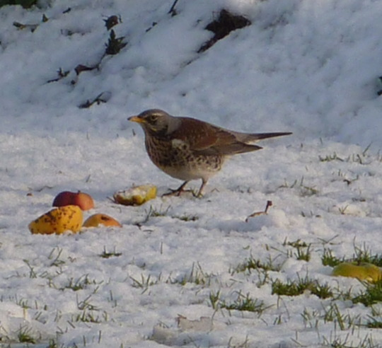 I've Never Had A Fieldfare Visit Before :-)