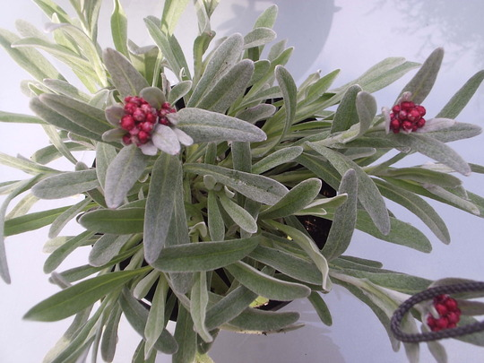 "Helichrysum ""Ruby Cluster""."