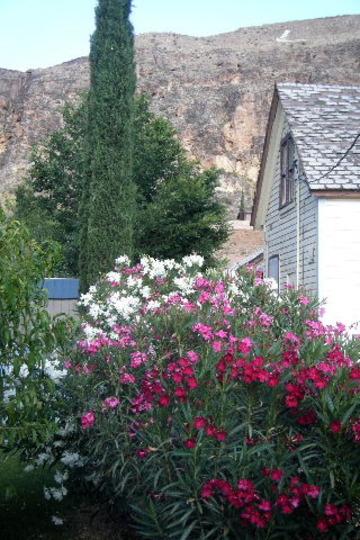Mother's Oleanders