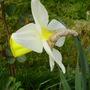 Bravoure (Narcissus)