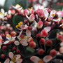 Skimmia Flower (Skimmia japonica (Skimmia))