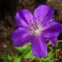 Purple_geranium