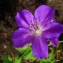Purple_geranium