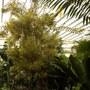 Dracaena (Pleomele) reflexa 'Song of India' (Dracaena (Pleomele) reflexa 'Song of India')