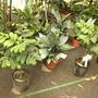 Chamaedorea adscendens - Velvet Palm and Chamaedorea metallica - Metallic Palm  (Chamaedorea adscendens - Velvet Palm and Chamaedorea metallica - Metallic Palm)