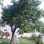 Mother's Apricot Tree