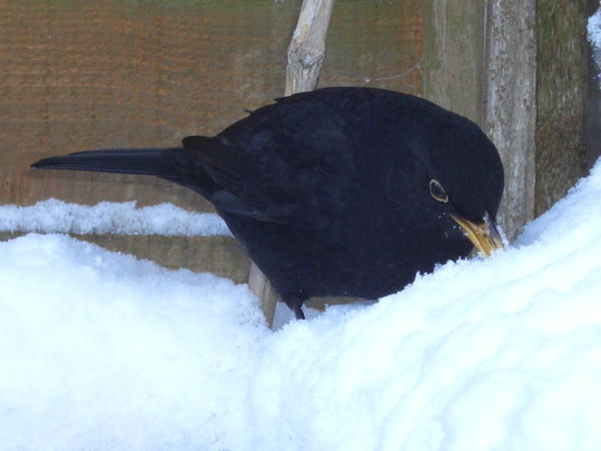 Blackbird eating snow