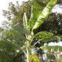 Musa 'Ice Cream'  - Ice Cream Banana with new leaf emerging. (Musa 'Ice Cream'  - Ice Cream Banana)