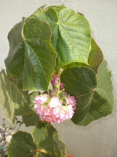 Dombeya wallichii - Pink Ball Tree, Tropical Hydrangea (Dombeya wallichii - Pink Ball Tree, Tropical Hydrangea)