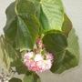 Dombeya wallichii - Pink Ball Tree, Tropical Hydrangea
