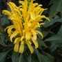 Justicia area - Yellow Jacobinia (Justicia area - Yellow Jacobinia)