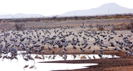 Crane Migration 2