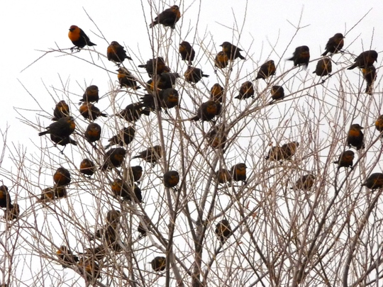 YELLOW HEAD BLACKBIRDS
