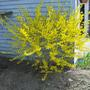 Forsythia April 2008