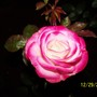 double shaded and scented rose
