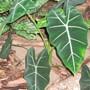 Alocasia micholitziana frydek..green velvet.. (Alocasia micholitzana frydek)