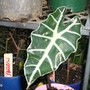 """Alocasia hybrid """" poly"""" dwarf..common name .African mask (ALOCASIA HYBRID """"POLY"""")"""
