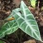 Alocasia longiloba (Alocasia longiloba)