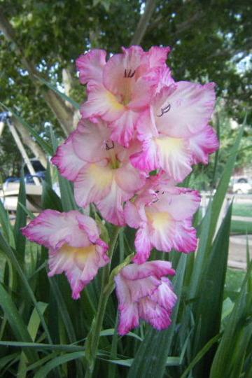 Mother's Gladiolus