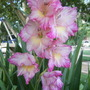 Mother's Gladiolus