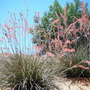 Red Yucca: Hesperaloe parviflora (Hesperaloe parviflora (Red Flowered Yucca))